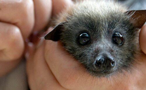 3757507 Curiosita Animali Pipistrelli Da Coccolare Focus Wild 1280x720 1 500x309, Sito non ufficiale della Reggia di Caserta